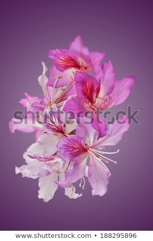 Fleurs isolé pourpre Hong-Kong orchidée fleur Photo stock © danielbarquero