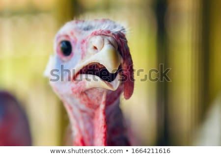 retrato · Turquia · feminino · natureza · pássaro · verde - foto stock © jonnysek