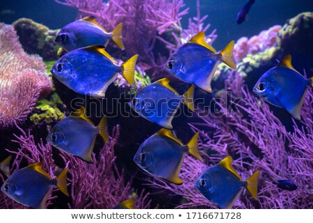 swarm of silver fishes in the blue sea Stock photo © meinzahn