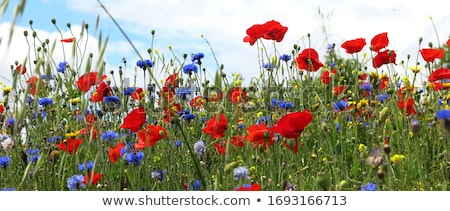 Background with daisies and cornflowers Stock photo © boroda