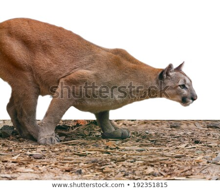 creeping cougar, predatory  Stock photo © OleksandrO