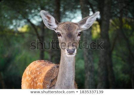 Fallow deer Stock photo © simply
