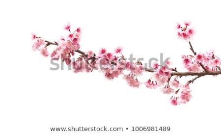 blossoming branch stock photo © yelenayemchuk