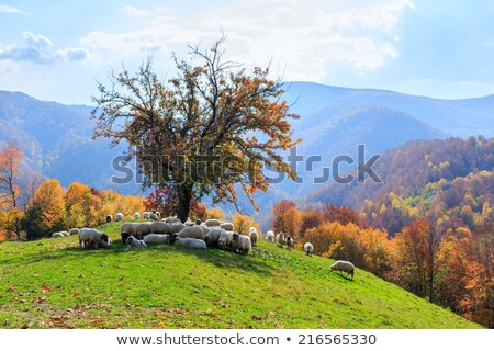 autumn landscape sheep shepard dog stock photo © fesus