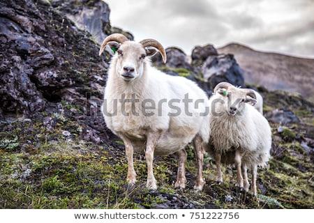 birka · testtartás · Izland · fiatal · zöld · legelő - stock fotó © alexeys