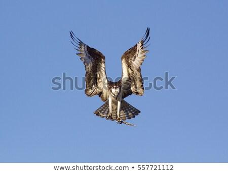 Abrir asas preto e branco ilustração arte aves Foto stock © lineartestpilot