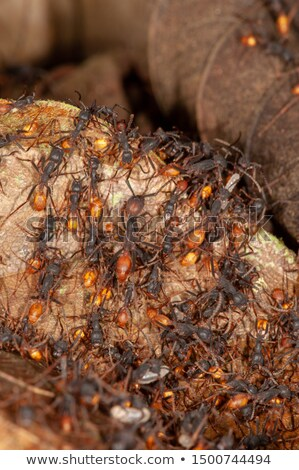 Army of Ants Stock photo © AlienCat