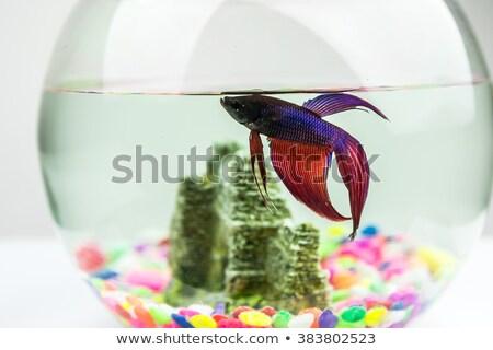 little white siamese fighting fish stock photo © nalinratphi