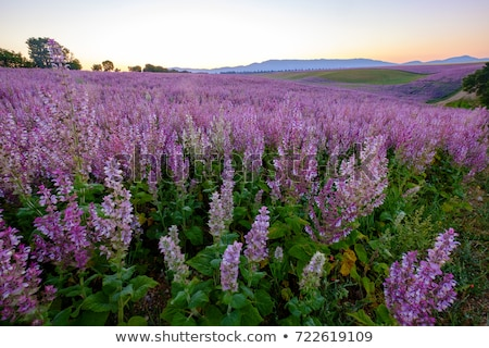clary sage plant in garden Stock photo © LianeM