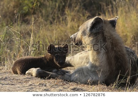 Hiéna anya park Dél-Afrika baba Stock fotó © simoneeman