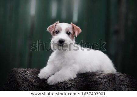 Foto stock: Jack · russell · terrier · filhotes · de · cachorro · sessão · cesta · isolado · branco