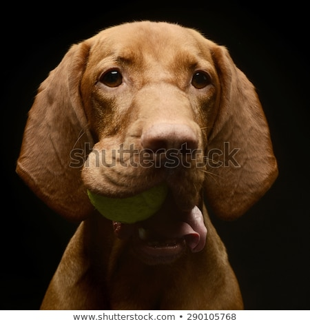 hungarian vizsla portrait with tennis ball in a dark studio stock photo © vauvau