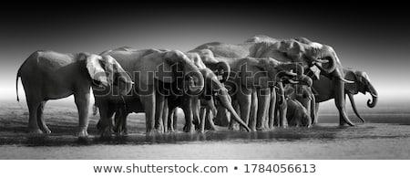 Afrika fil su siyah beyaz park Güney Afrika Stok fotoğraf © simoneeman