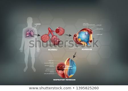 emberi · anatómia · légzési · orgona · illusztráció · alkat · szemben - stock fotó © tefi