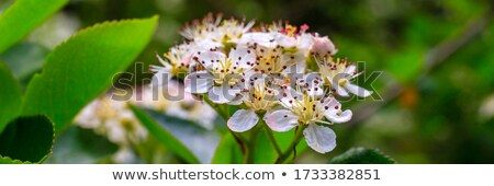Blossom of Aronia melanocarpa Stock photo © stevanovicigor