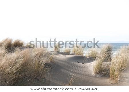 Hierba duna viento playa naturaleza desierto Foto stock © Digifoodstock