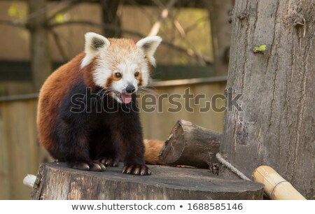 Panda profundo forestales ilustración naturaleza paisaje Foto stock © bluering