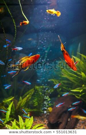 Aquarium poissons pop art rétro bleu rouge Photo stock © studiostoks