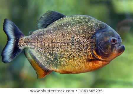 Piranha aquário verde peixe fundo azul Foto stock © cookelma