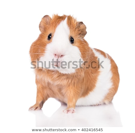 Hamster isolated. Cute pet on white background. Home rodent Stock photo © popaukropa