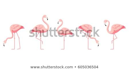 flamingo   vector illustration stock photo © djdarkflower
