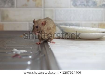 Bucătărie şobolan ilustrare casă singur alb Imagine de stoc © bluering