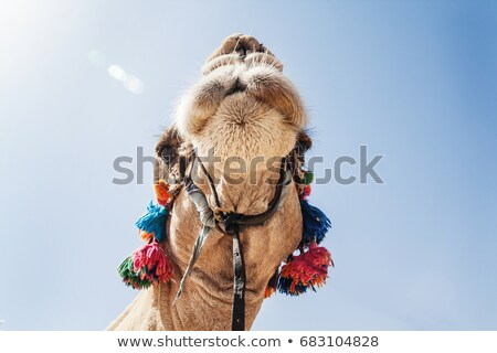 the decorated head of a camel close up against a sky backgroun stock photo © tanach