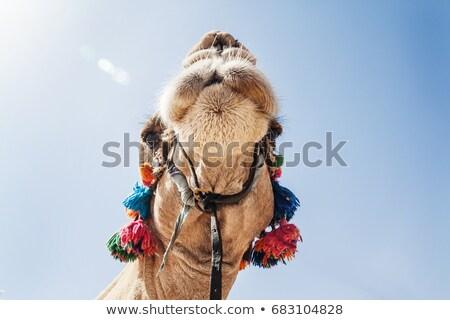 Decorado cabeça camelo céu cara Foto stock © TanaCh