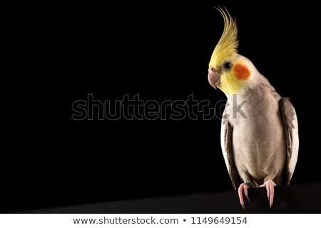 Studio dorosły ptaków zwierząt papuga domowych Zdjęcia stock © cynoclub