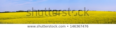 Panorámica campo flor flores primavera Foto stock © kwest