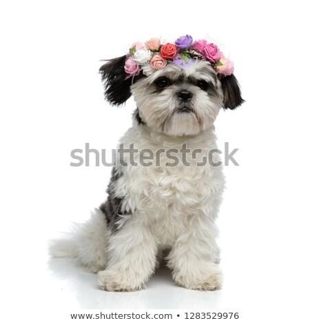 cute shih tzu wearing fresh flowers crown looks to side Stock photo © feedough