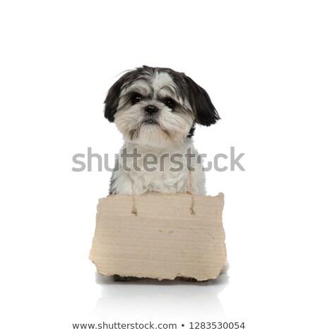 adorable beggar shih tzu wearing empty billboard sitting Stock photo © feedough