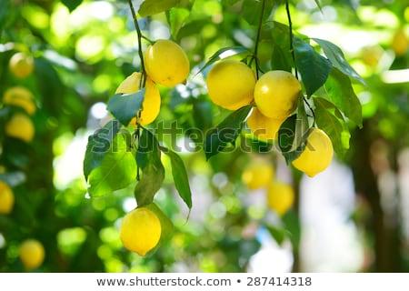 Lemons hanging on tree. Stock photo © inaquim