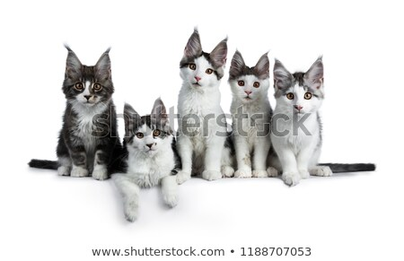 perfect row of five blue black tabby high white maine coon cat kittens stock photo © catchyimages