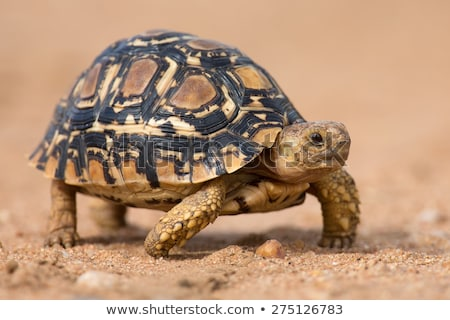 Luipaard schildpad groen gras oog natuur groene Stockfoto © borisb17