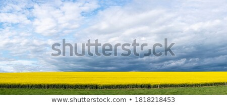 panoramic fields of golden canola flowering under the spring sun stock photo © lovleah