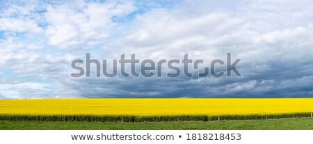 Panorámica campos dorado floración primavera sol Foto stock © lovleah