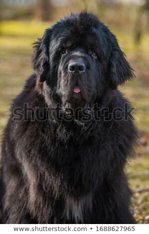 portrait of an adorable newfoundland dog stock photo © vauvau