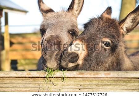 Grey donkey eating Stock photo © Elenarts