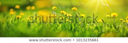 karahindiba · çim · sarı · yüksek · doğa - stok fotoğraf © ivonnewierink