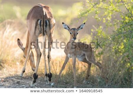 mother and baby impala Stock photo © tiero