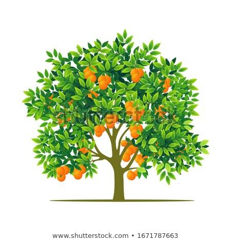 tangerines tree Stock photo © Discovod