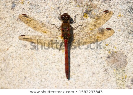 Side View of a Red Dragonfly Perched on a Branch Stock photo © bradleyvdw