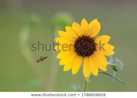 central part of sunflower as background stock photo © mycola