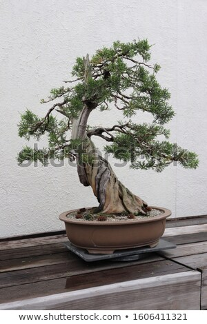 California Juniper Bonsai Tree Stock photo © feverpitch
