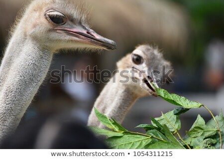 Stock photo: Ostrich eating