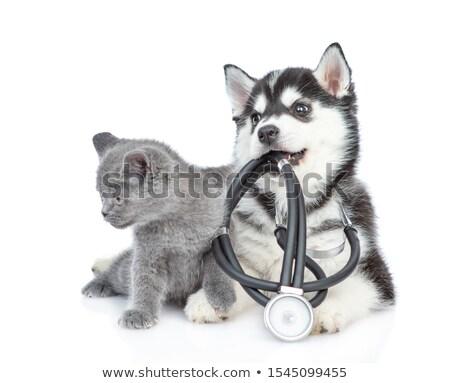 ストックフォト: 医師 · 英国の · 猫 · 白 · 爪 · カット