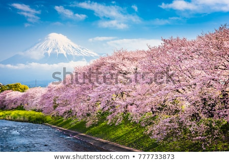 flowers of the cherry blossoms on a spring day stock photo © relu1907