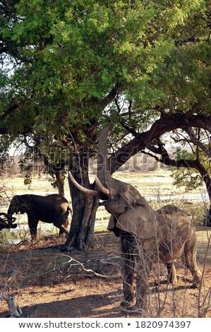 Elefánt levelek park Dél-Afrika állatok Stock fotó © simoneeman