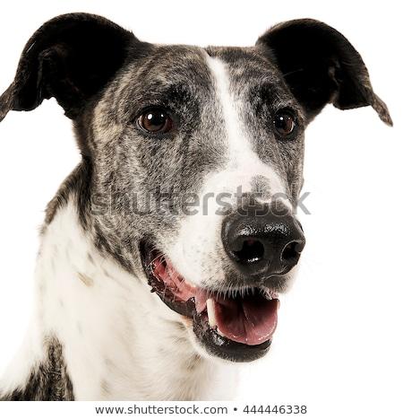 Hungarian greyhound portrait in a white studio Stock photo © vauvau
